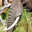 African elephant in the Tarangire National Park, Tanzania — Stockfoto