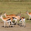 Male Grant's gazelles — Stock Photo #17647027