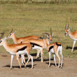 Stock Photo: Male Grant's gazelles