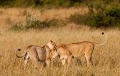 African Lionesses in the Maasai Mara National Park, Kenya — Stock Photo