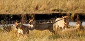 African Lions in the Maasai Mara National Park, Kenya — Stock Photo