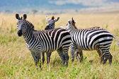 Zebras in National Park in Kenya, Africa — Stock Photo