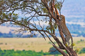 Wild leopard with its prey, an impala antelope on a tree in Maasai Mara, Kenya, Africa — Stock Photo