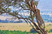 Wild leopard with its prey, an impala antelope on a tree in Maasai Mara, Kenya, Africa — Stock Photo
