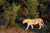 African Lioness in the Lake Nakuru National Park, Kenya — Stock Photo