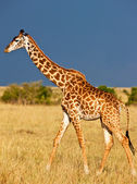 Giraffe over the background of a deep blue stormy African sky on the Masai Mara National Reserve - Kenya — Stock Photo