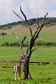Giraffe baby - Maasai Mara National Park in Kenya, Africa — Stock Photo