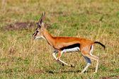 Male Grant's gazelle in the Maasai Mara National Park, Kenya — Stock Photo