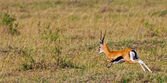 Male Grant's gazelle in the Maasai Mara National Park, Kenya — Foto Stock