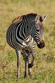 Zebra in the Lake Nakuru National Park in Kenya, Africa — Stock Photo