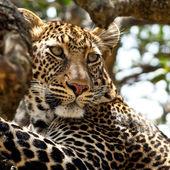 Leopard - Maasai Mara National Park in Kenya, Africa — Stock Photo