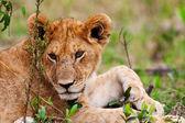 Um filhote de leão, nas planícies de mara maasai, no quênia — Fotografia Stock