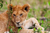 A lion cub on the plains of the Maasai Mara, Kenya — Stock Photo
