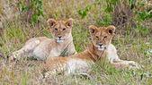 Giovane maschio africano Leone e leonessa nel parco nazionale del masai mara, kenya — Foto Stock