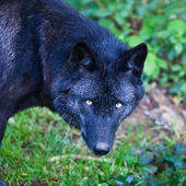 Black Wolf — Stock Photo