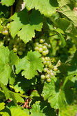 White grapes in vineyard — Stock Photo