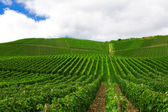 Vineyard in Pfalz, Germany — Stock Photo