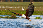 African fish eagle, Naivasha Lake National Park, Kenya — Stock Photo