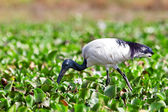 African sacred ibis (Threskiornis aethiopicus), Lake Naivasha, Kenya — Stock Photo