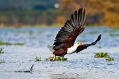 African fish eagle, Naivasha Lake National Park, Kenya — Stock Photo