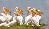 Great white pelicans in Lake Nakuru National Park - Kenya, Africa. The Great White Pelican (Pelecanus onocrotalus) is also known as the Eastern White Pelican, Rosy Pelican or White Pelican. — Stock Photo