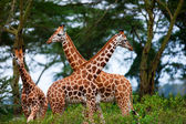 Giraffes in National Park, Kenya — Stock Photo