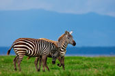 Zebras in the Lake Nakuru National Park in Kenya, Africa — Stock Photo