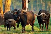 African buffalo in the Lake Nakuru National Park - Kenya — Stock Photo