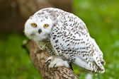 Snowy owl (Bubo scandiacus) — Stock Photo