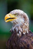 Bald Eagle — Stock fotografie