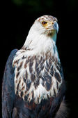 African fish eagle (Haliaeetus vocifer) — Foto Stock