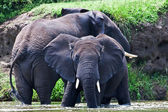 Male African elephants, Kazinga Channel (Uganda) — Stock Photo