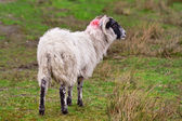 Blackhead sheep in the Scottish highlands — Stock Photo