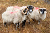 Blackhead sheeps in the Scottish highlands — Stock Photo