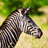 Zebra in the Ngorongoro Crater, Tanzania — Stock Photo