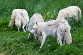Large adult arctic wolves in the forest — Stok fotoğraf