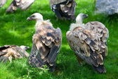 European griffon vultures (Gyps fulvus fulvus) — Stock Photo
