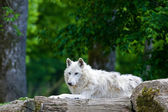 Large adult arctic wolf in the forest — Stok fotoğraf