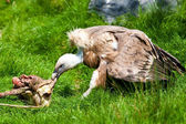 European griffon vulture (Gyps fulvus fulvus) eating meat — Stock Photo