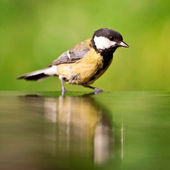 Great tit in the water — Stock Photo