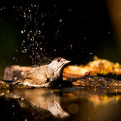 Female blackbird (Turdus Merula) is bathed in water — Stock Photo