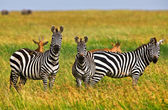 Zebra's in het serengeti national park, tanzania — Stockfoto