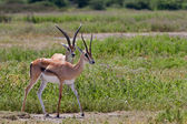 Male Grant's gazelles in the Serengeti National Park, Tanzania — Foto de Stock