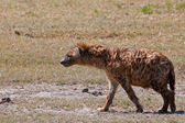 Spotted hyena in the Ngorongoro Crater, Tanzania — Stock Photo