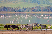 Zebras and a wildebeest walking beside the lake in the Ngorongoro Crater, Tanzania, flamingos in the background — Stock Photo