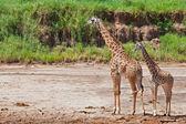 żyrafy (giraffa camelopardalis) w park narodowy tarangire, tanzania — Zdjęcie stockowe