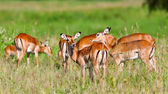 Female impala antelopes, Tarangire National Park, Tanzania — Stock Photo