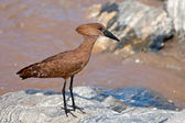 A Hamerkop, scopus umbretta, in Tarangire National Park, Tanzania — Foto Stock
