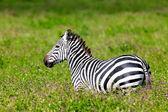 タンザニア セレンゲティ国立公園のシマウマ — ストック写真