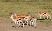 Male Grant's gazelles — Stock Photo